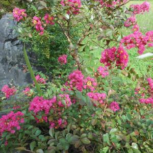 百日紅と彼岸花と猫