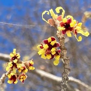 春は黄色から