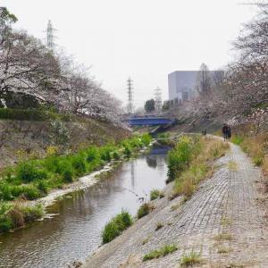 山崎川の桜│2019年3月29日