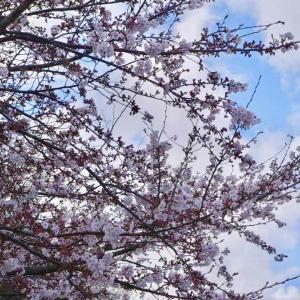 川名公園の桜│2019年3月31日