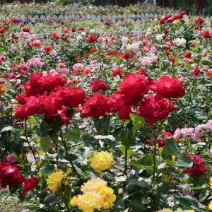 鶴舞公園のバラ