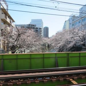 探訪録 面影橋周辺「神田川の桜並木」お花見と都電荒川線