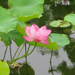 探訪録 上野公園「不忍池」の蓮の花 池一面に咲く蓮は夏の風物詩