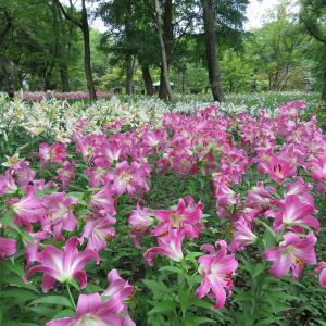 探訪録 千代田区「日比谷公園」園内のユリ花壇の美しさ!