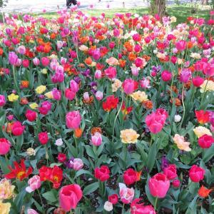 探訪録 立川「昭和記念公園」Flower Festival 2021~チューリップ、ネモフィラ、菜の花