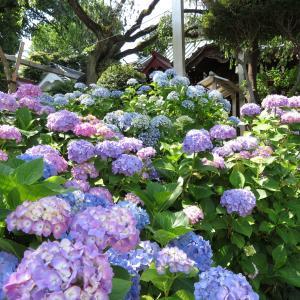 探訪録 文京区「白山神社」境内に咲く紫陽花を観賞