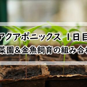 【アクアポニックス 1日目】家庭菜園&金魚飼育を組み合わせてみた!