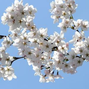 不登校の親は、桜の季節がつらい