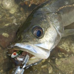 真夏はやっぱりバックチャターがよく釣れる!?