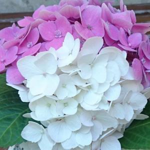 Staffordshire (スタッフォードシャー) - Sauciere - fleurs