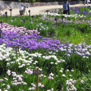 花菖蒲園に行きました