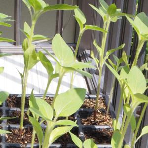 ミニヒマワリの植え付けをしました