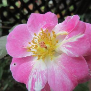 今日は1輪だけ開花ソルベ・フランソワーズ & 前半に開花したバラNo.2アマンディーン・シャネル