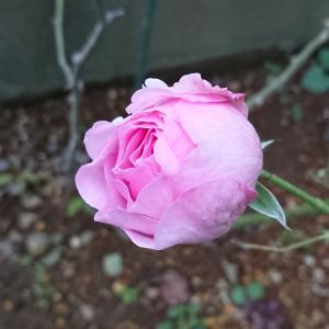 今日はバラの蕾を・・& 夫婦で通院