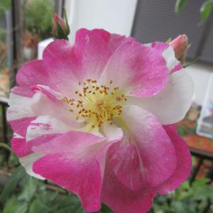 今咲いているバラ & 多肉ちゃん & バラの思い出(2)