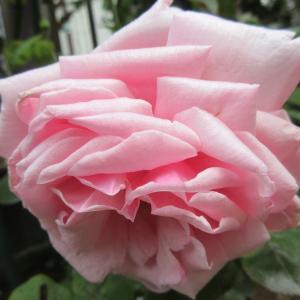 咲き進んで見事になったラ・フランス & お花と多肉