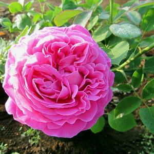 注文したバラ苗 & 野菜たち & バラの蕾
