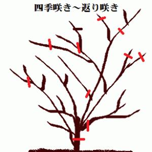 半つる性(シュラブ)のバラの剪定 & バラの1年を振り返って  HT  No.2  ガブリエル & 水晶で浄化
