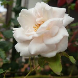 マダム・アルフレッド・キャリエールとアルシデュック・ジョセフ & 春のバラ  No.17  ダーシー・バッセル