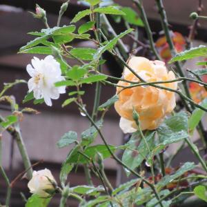 お庭の奥で咲くつるバラたち & 次々と咲くバラたち & 悩むこと & 今日の一句