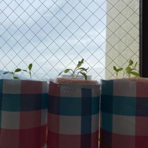 自粛生活 家庭菜園(水耕栽培2)