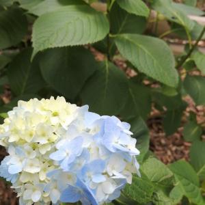 入梅といえば・・・紫陽花です。