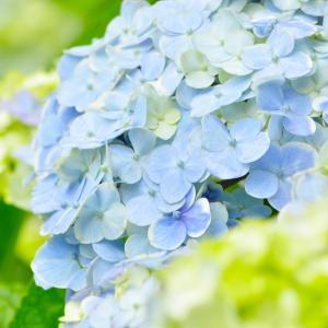 【おめでとう】お誕生日。 6月14日誕生日花【紫陽花】