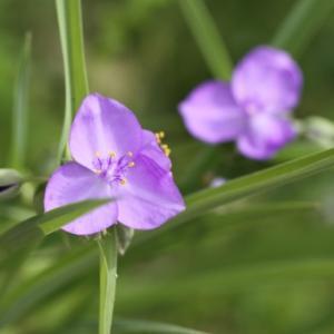 【おめでとう】お誕生日。 6月15日誕生日花【紫つゆ草】