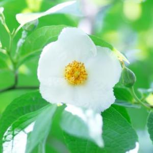 【おめでとう】お誕生日。 6月16日誕生日花【夏椿】