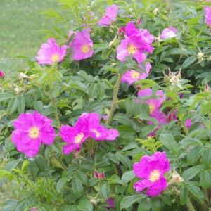 【おめでとう】お誕生日。 7月4日誕生日花【ハマナス】