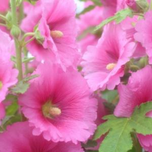 【おめでとう】お誕生日。 7月8日誕生日花【ホリホック】