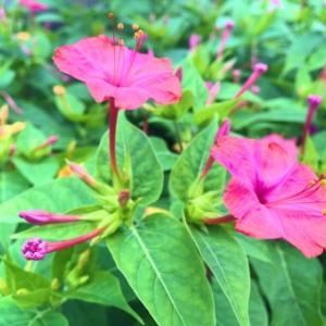 【おめでとう】お誕生日。 8月5日誕生日花【オシロイバナ】