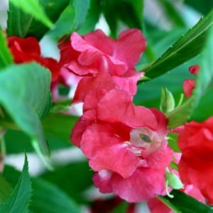 【おめでとう】お誕生日。 9月18日誕生日花【ホウセンカ】