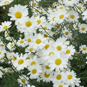 【おめでとう】お誕生日。 9月23日誕生日花【ピレスラム】
