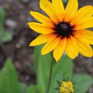 【おめでとう】お誕生日。 9月24日誕生日花【ルドベキア】
