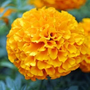 【おめでとう】お誕生日。 10月28日誕生日花【アフリカンマリーゴールド】