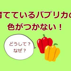 パプリカ栽培で色がつかない原因は?パプリカが緑のままなのは何故?