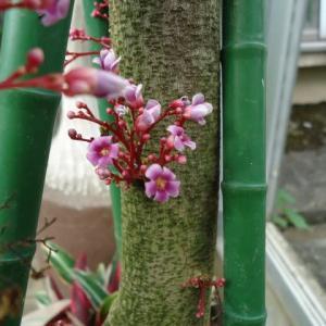 ゴレンシ 花