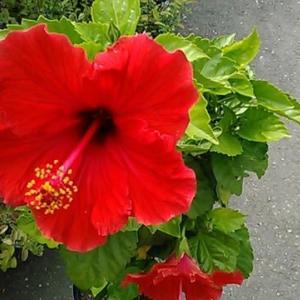 ハイビスカス 赤花