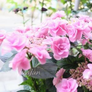 お花好きの母に贈る鉢植え【フェアリーアイ ピンク】アジサイのギフト