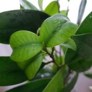 榊(サカキ)の新芽の時期っていつ?なぜ葉が落ちるの?