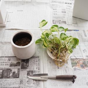 毎年恒例の「観葉植物の植え替え」をしました。