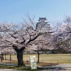 姫路城のお花見は車の中から・・・
