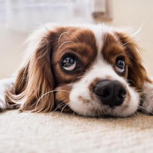 【保護犬・猫】カナダのペット事情〜ペットショップが違法な話〜【シェルター】
