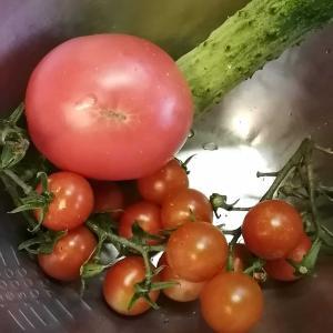 【園芸】相模半白きゅうり&アロイトマト