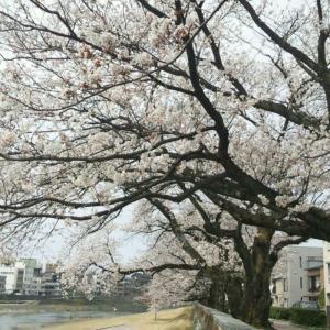 犀川沿いの桜