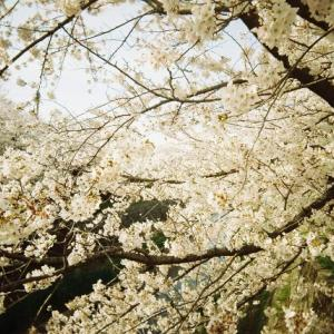 春と桜と入学式