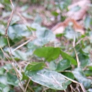 今日の庭 ヒメリュウキンカ