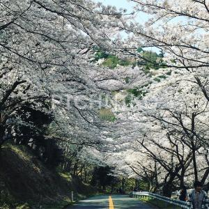桜7(Sakumu)