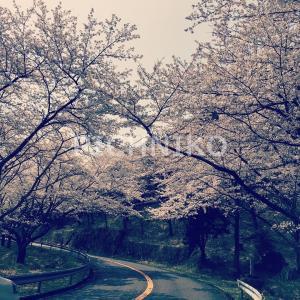 桜12(sakumu)